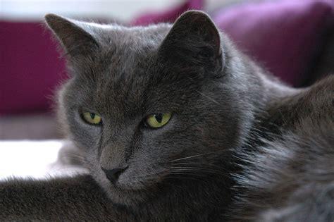 grey cat  green eyes  image
