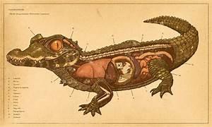 Crocodile anatomy by IronMitten on DeviantArt