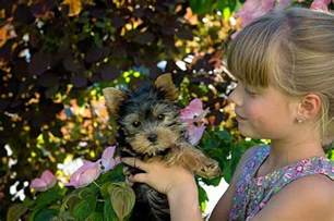 do yorkies shed why your quot non shedding dog quot is losing so
