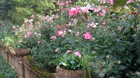 prune knock  rose