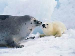 Harp seal mother and pup Photographic Print