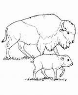 Coloring Buffalo sketch template
