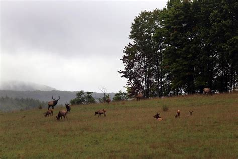 elk pennsylvania eastern wesa forest mating gets going really reintroduction modern pa national allegheny fireflies forests estimated decades ranged conservation