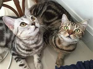 Fascinating Facts About Domestic Shorthair Cats  Domestic