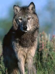 Animal Planet Timber Wolf