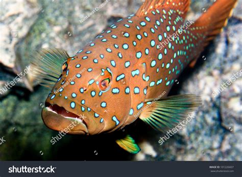grouper spotted shutterstock official