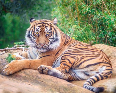 Tiger Feline Cat Free Photo Pixabay