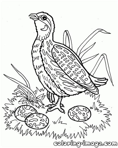 Coloring Quail by Quail Coloring Pages
