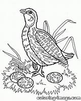 Quail Coloring Pages Warthog Quails Template Printable Getcolorings Bird Popular Coloringhome sketch template