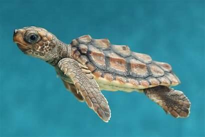 Turtle Turtles Sea Wallpapers Wallpapersafari