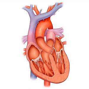 Medical Stock Art  Heart Cross Section