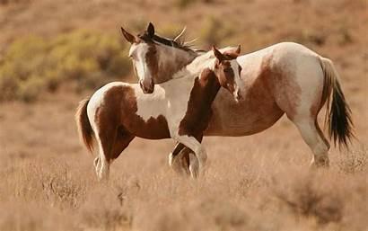Horse Paint Horses Backgrounds Wallpapers Chestnut Desktop