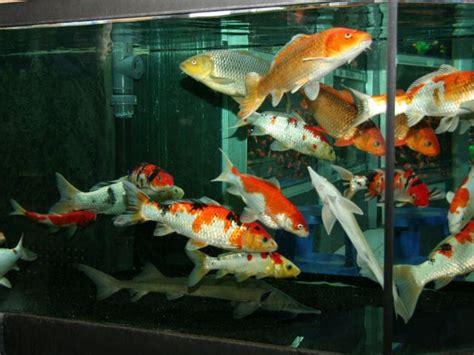 aquarium pour carpe koi mon bassin de 10000 litres forum poissons