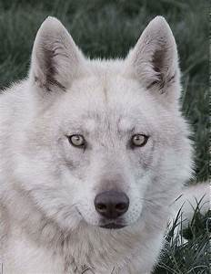 Bébé Loup Blanc : animaux page 4 ~ Farleysfitness.com Idées de Décoration