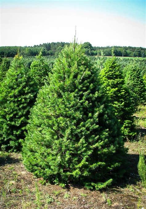 douglas fir  sale   tree center
