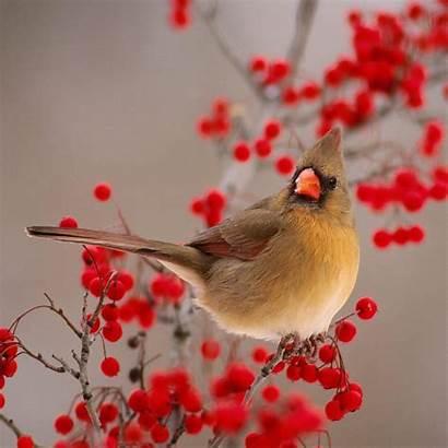 Winter Bird Wallpapers Nature Birds Berries Ipad