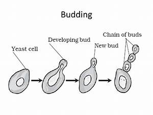 Information About Budding Diagram Yousenseinfo