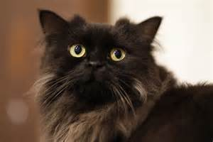 fluffy cat breeds a complete guide to fluffy black cat breeds cbwp