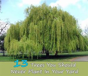 13 Trees You Should Never Plant In Your Yard - Home and