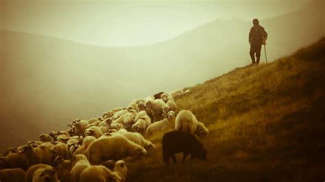 shepherd   sheep    good shepherd