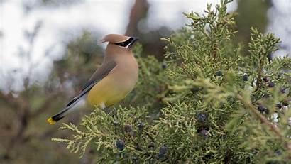 Waxwing Cedar Bird Bush Hdtv Fhd 1080p