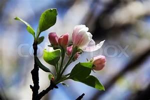 Rosa Blühende Bäume April : fr hling von april kirsche rosa und wei en bl ten ast knospen stockfoto colourbox ~ Michelbontemps.com Haus und Dekorationen
