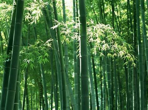 where will bamboo grow how to grow bamboo plants garden how