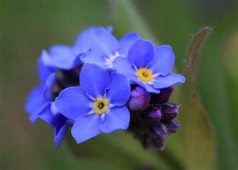 Fiore Flowers by Significato Dei Fiori Il Non Ti Scordar Di Me Pollicegreen