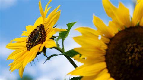 so gedeihen sonnenblumen auch bei ihnen im garten