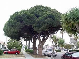 PlantFiles Pictures Italian Stone Pine Umbrella Pine