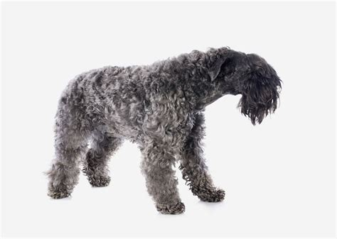 europetnet kerry blue terrier