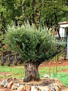 Planter Un Olivier En Pot : planter un olivier dans son jardin et si vous plantiez un ~ Dailycaller-alerts.com Idées de Décoration