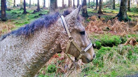 curly horses did horse originate bashkir question american breeds registry recessive