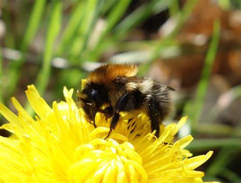 urban pollinators    common bumblebee species
