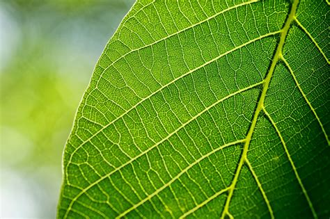 What Plants Has Leaves with Veins