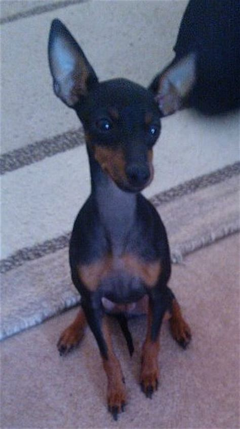 Small Non Shedding Dogs Easy To Train by What Is An English Toy Terrier Really Like Find Out In