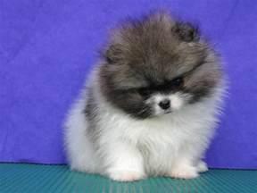 Pomeranian Puppies Babies
