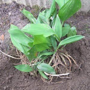 Comment Planter Du Muguet : planter le muguet convallaria majalis dans le jardin ~ Melissatoandfro.com Idées de Décoration