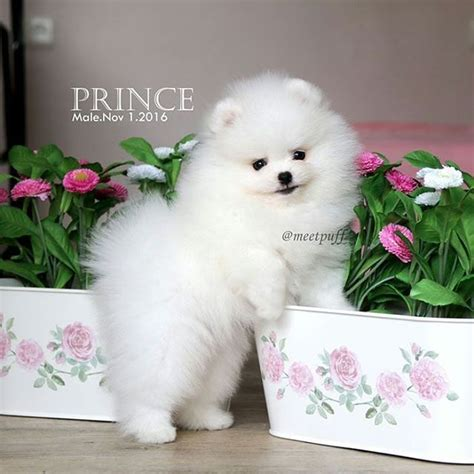 pin  puppies  sale  buy sell pomeranian puppies
