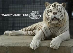 World's 'ugliest' white tiger bred through incest in cruel ...