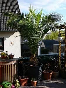 Kanarische Dattelpalme Kaufen : palmen neu und gebraucht kaufen bei ~ Lizthompson.info Haus und Dekorationen