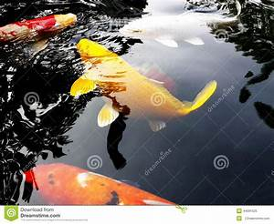 Yellow Koi Fish Stock Photo - Image: 44091525