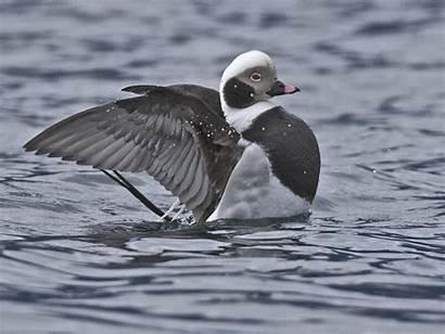 Duck Tailed Sea Ducks Bufflehead Birds Winter