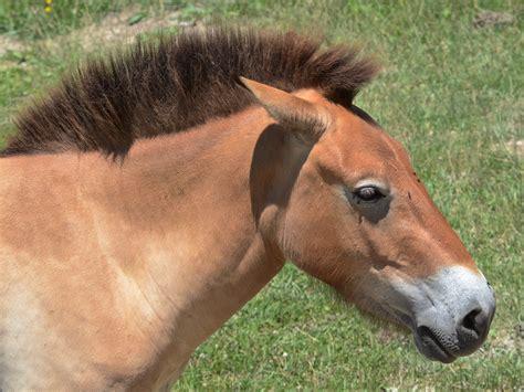 wild przewalski native horse europe