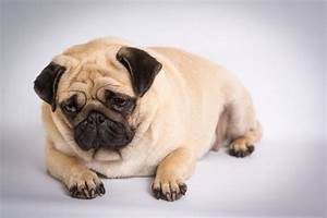 overweight dog t food calculator make dog lose weight