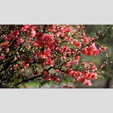 Flowering Quince Youtube