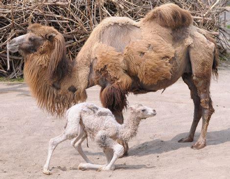 baby camel born today  zurich zooborns