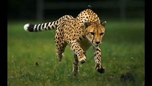 Develop The Speed Of A Cheetah Fast  Subliminals