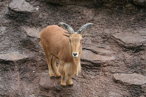 goat names image gallery mountain goat names