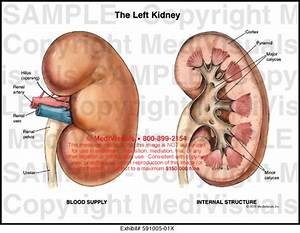 Medivisuals The Left Kidney Medical Illustration